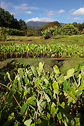 Taro Field, Wailua Valley, Hana Coast, Maui, hawaii