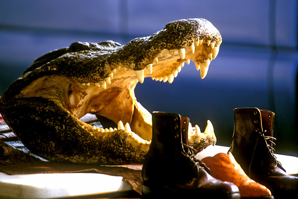Stock photo of an alligator behind watches over shoes and boots at the Texas Gatorfest in Anhuac.