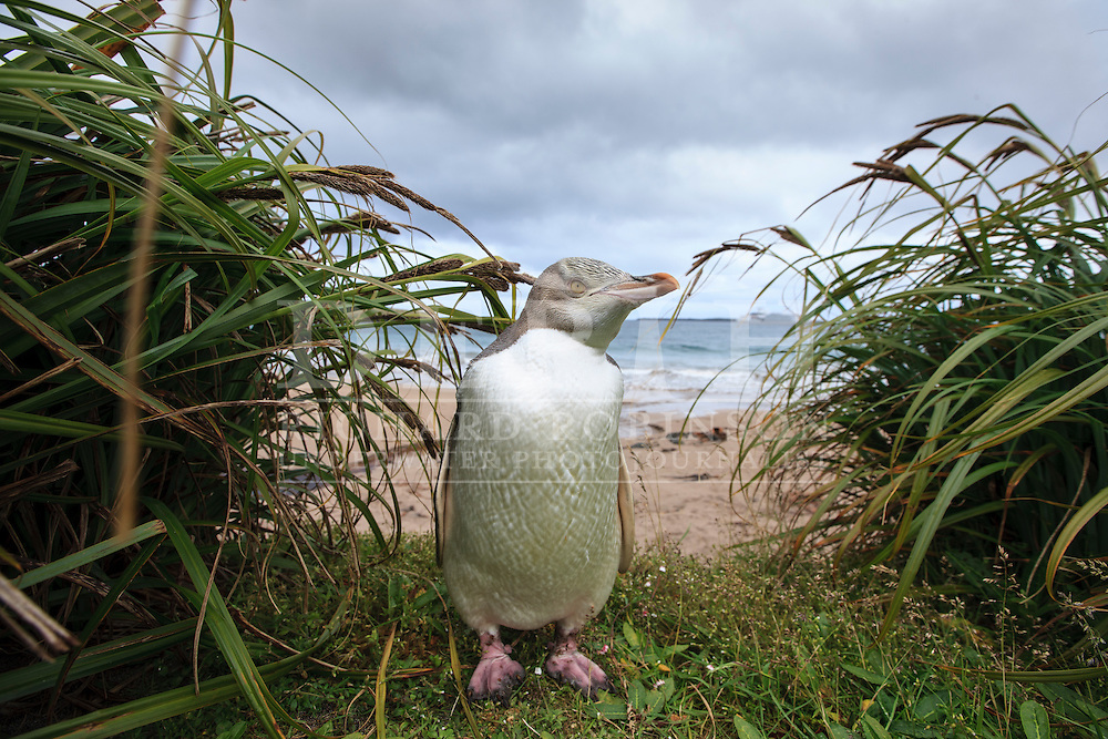 Megadyptes antipodes (Yellow eyed penguin) at Sandy Bay, Enderby Island, Auckland Islands, New Zealand.<br /> 08 January 2016<br /> Photograph Richard Robinson &copy; 2016