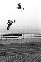 Birds fighting over the boardwalk, Brooklyn, New York, NY