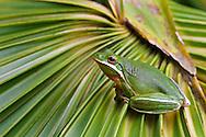 American Green Tree Frog (Hyla cinerea),  The Legacy Club's trip to Little St. Simon's Island, Georgia, 2013.