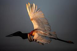 A jabiru stork (Jabiru mycteria) as sunlight hits its open wings in flight , Pantanal, Brasil, South America