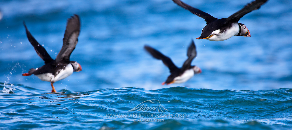 puffins off the coast of Machias Seal Island