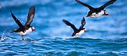 puffins off the coast of Machias Seal Island