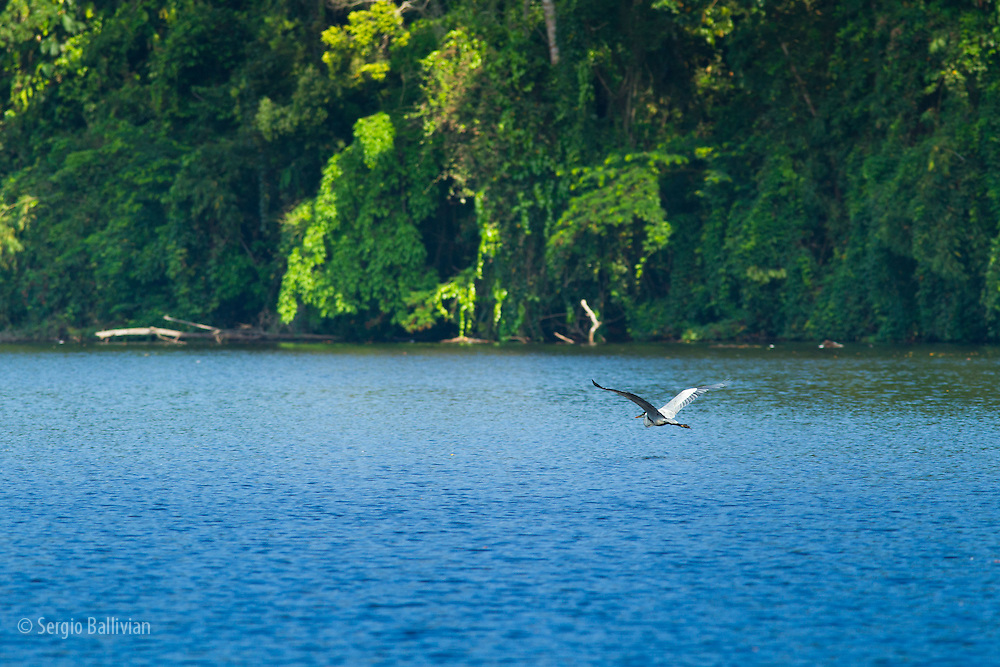 A Cocoi Heron (Ardea cocoi) takes flight across an oxbow lake in Tambopata NP in the Peruvian Amazon.