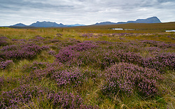 View of purple heather on blanket bog in Flow Country on the A' Mhoine Peninsula (Moine Peninsula) in Sutherland, Scotland, UK