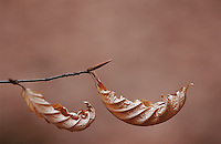 Dry leaves of Beach tree hanging on branch close up