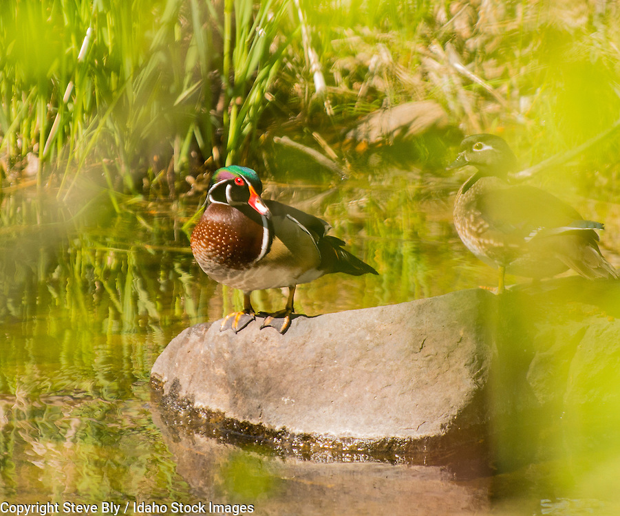 Colorful Male and female Wood Duck perched on a rock in an Idaho river.