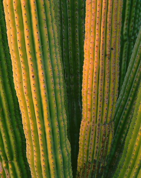 0112-1015 ~ Copyright: George H. H. Huey ~ Detail of Organ Pipe cactus stems at sunrise. Organ Pipe Cactus National Monument, Arizona.
