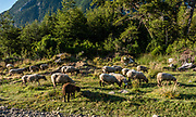 """Sheep graze near Futaleufú, in Palena Province, Chile, Andes mountains, Patagonia, South America. The frontier town Futaleufu hosts forestry, cattle farming, and adventure tourism including whitewater rafting, fishing, mountain biking, trekking, and canyoneering. Located 7 miles from the Argentinian border, Futaleufu (population 2,000) is most easily accessed from airports in Esquel and Bariloche, Argentina. The town is named after the crystal blue Futaleufú River, considered one of the best whitewater rafting rivers in the world. The name Futaleufu derives from a Mapudungun word meaning """"Big River"""". A gravel road links the town to Trevelin in Argentina and to the Carretera Austral. Following the eruption of Chaitén Volcano and the subsequent destruction of Chaitén, Futaleufú has been the administrative capital of Palena Province since March 2009."""