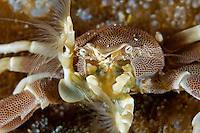 Porcelain Anemone Crab Feeding