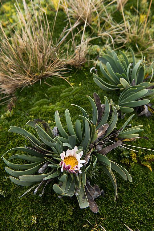 Andean Daisy (Werneria nubigena)<br /> Antisana Ecological Reserve<br /> Cordillera Real, Andes<br /> ECUADOR, South America