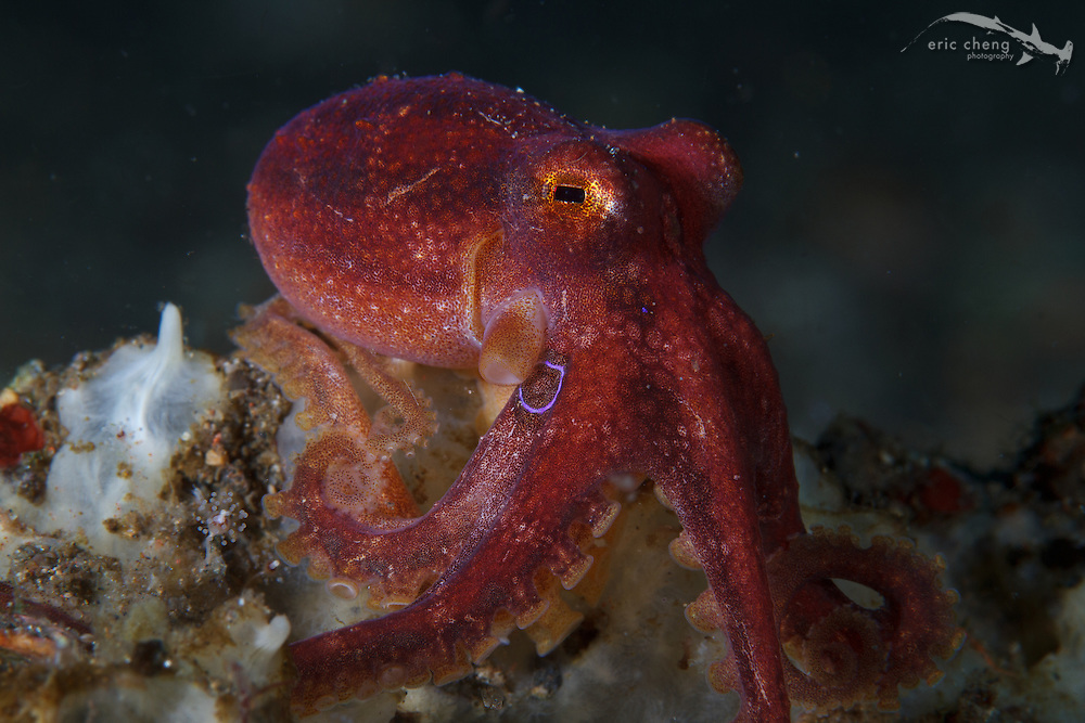 A poison ocellate octopus (Amphioctopus siamensis) displays its telltale iridescent blue ring. Hot Property, Beangabang, Pantar, Indonesia.