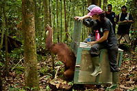 Karmele Llano Sanchez of the International Animal Rescue center in Ketapang and Ayu Budi Hadyansi, a vet from Jakarta, release Prima, a 8 yr old juvenile female, into the wild <br />