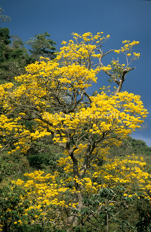 Yellow Cortez tree (Tabebuia ochracea), Rincon de la Vieja National Park, Costa Rica.<br />