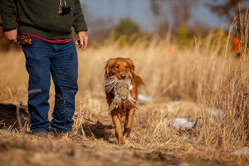 Golden Retriever. Retrieving birds.