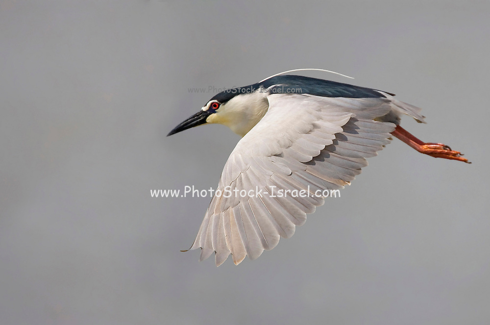 Black-crowned Night Heron (Nycticorax nycticorax) in flight, Israel