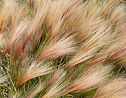 Foxtail barley (Hordeum jubatum) seed heads form chevron patterns in Denali National Park and Preserve, Alaska, USA.