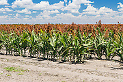 Flowering heads of sorghum crop in field under clouds near Dalby, Queensland, Australia <br />