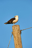 Great Black-backed Gull (Larus marinus)     perched on a post, Crescent Beach, Nova Scotia, Canada