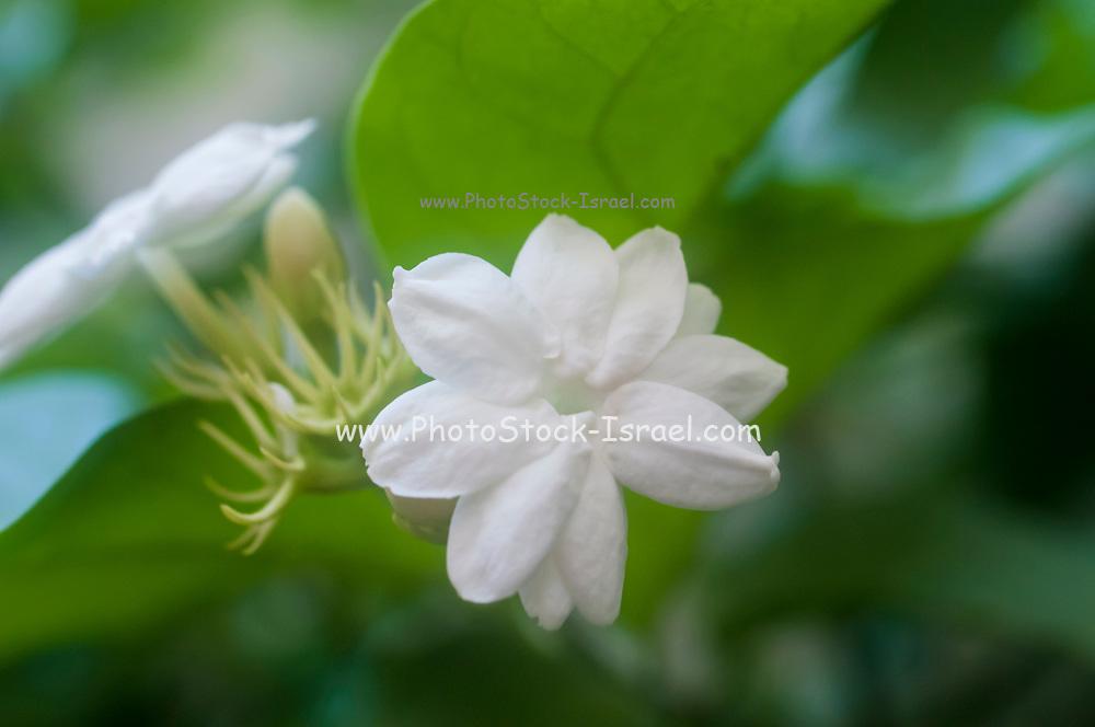 white Jasmine flower blooming in a garden