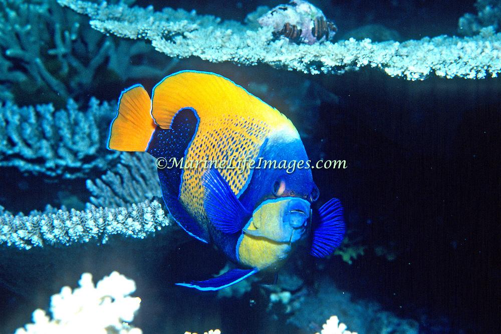 Blue Girdled Anglefish inhabit reefs. Picture taken Indonesia.