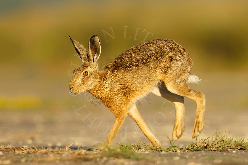 European Hare (Lepus europaeus) adult running across farm track, South Norfolk, UK. June.
