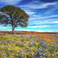 Lupines bloom beneath an oak tree on Table Mountain, Butte County, California.