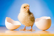 Photo illustration of a newly hatched chicken.