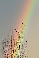 Scotchtown, New York - Crows perch in a tree in front of a rainbow after a thunderstorm on Aug. 5, 2012.