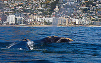 Southern Right Whales, Eubalaena australis  South Africa; whale by the city, Cape Town