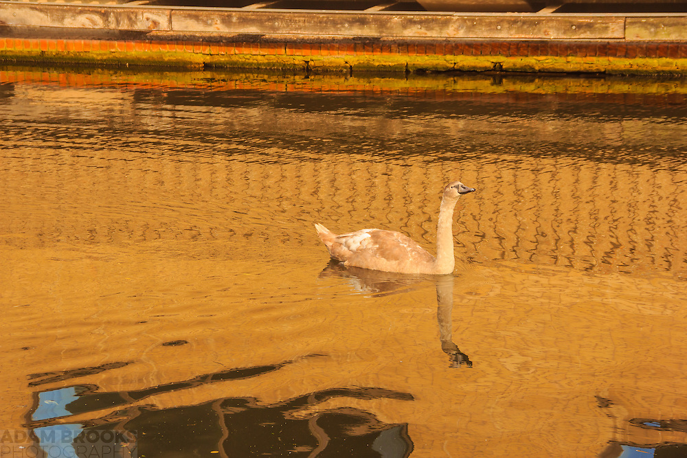 A Cygnet swimming along the Nottingham-Beeston Canal