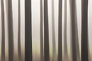 Pine woodland in dawn mist, Cairngorms National Park, Scotland.