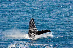 A humpback whale raises its fin as it breaches backwards on the Kimberley coast of Western Australia.