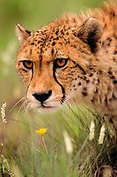 Cheetah, Acinonyx jubatus, close-up head portrait, head down on prowl.