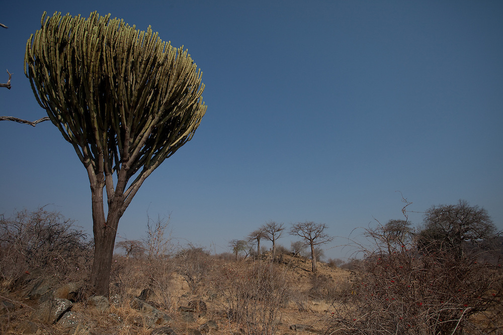 Cactus, Ruaha National Park, Tanzania
