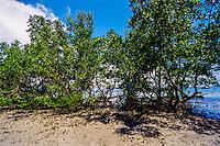 Indonesia, Sulawesi, Bunaken. Mangrove trees close to Liang Beach.
