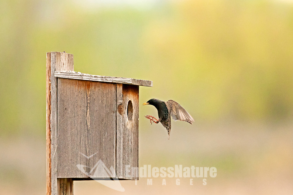 A European Starling enters the nesting box it has decided on nesting in for the spring.