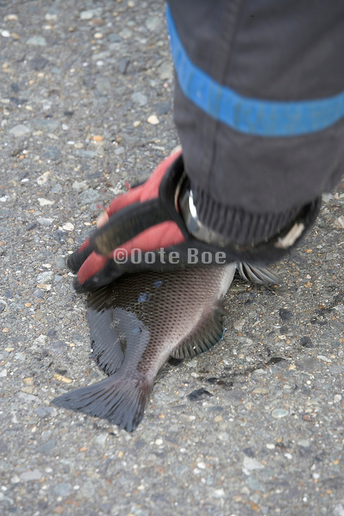 a person picking up a fish he just pulled out of the water
