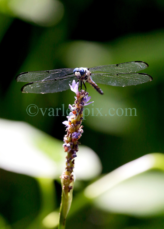 01 June 2015. Jean Lafitte National Historic Park, Louisiana.<br /> A dragonfly in the swamp at the Barataria Preserve wetlands south or New Orleans.<br /> Photo&copy;; Charlie Varley/varleypix.com