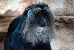 19 October 2010: Lion-tailed Macaque. St. Louis Zoo, St. Louis Missouri (Photo by Alan Look)