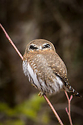 A Northern Pygmy Owl (Glaucidium gnoma) showing the false eyes on the back of its head. Photographed near the Clackamas River in the Mount Hood National Forest, Oregon.