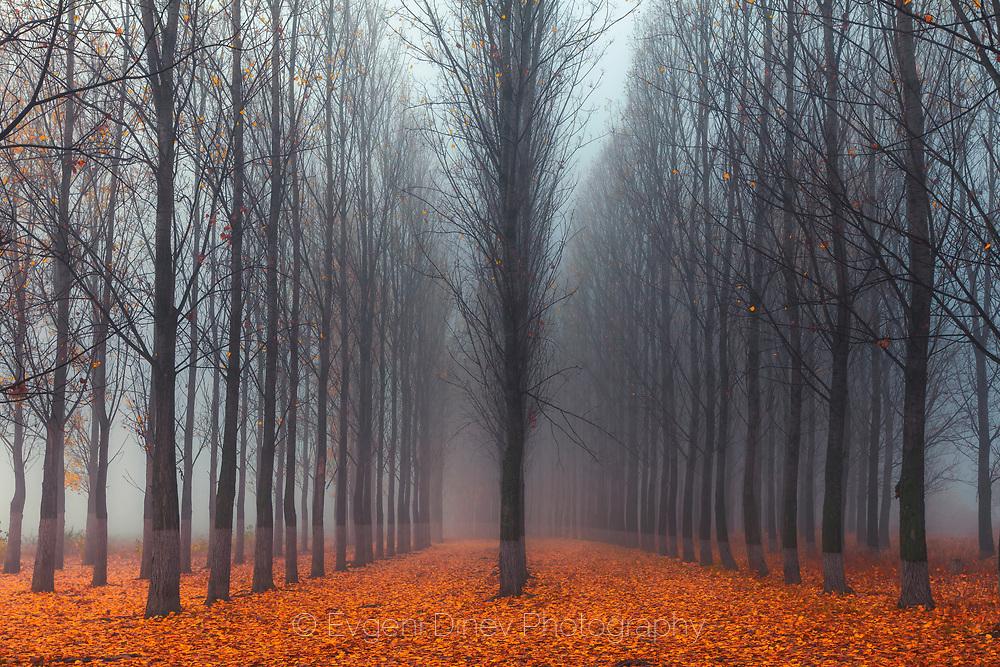 Misty poplar forest