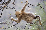 Golden snub-nosed monkey (Rhinopithecus roxellana qinlingensis) infant feeding on cherry blossoms, Zhouzhi, Shaanxi, China.