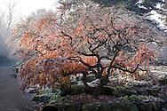 Acer palmatum 'Dissectum Atropurpureum' (Japanese maple) in the Rock Garden at RBG Kew, Richmond, Surrey, England, UK