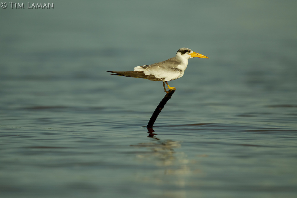 A Large-billed Tern (Phaetusa simplex) perched on a stick in the Orinoco River Delta, Venezuela.