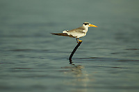 A Large-billed Tern (Phaetusa simplex) perched on a stick in the Orinoco River Delta, Venezuela.