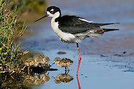 A black-necked stilt watches over its freshly-hatched chicks