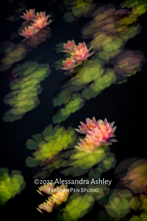 Multiple-exposure montage of pink and yellow waterlilies in lily pond, garden setting. Painted effects blended with original photo.