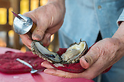 Shucking raw oysters from Louisiana.
